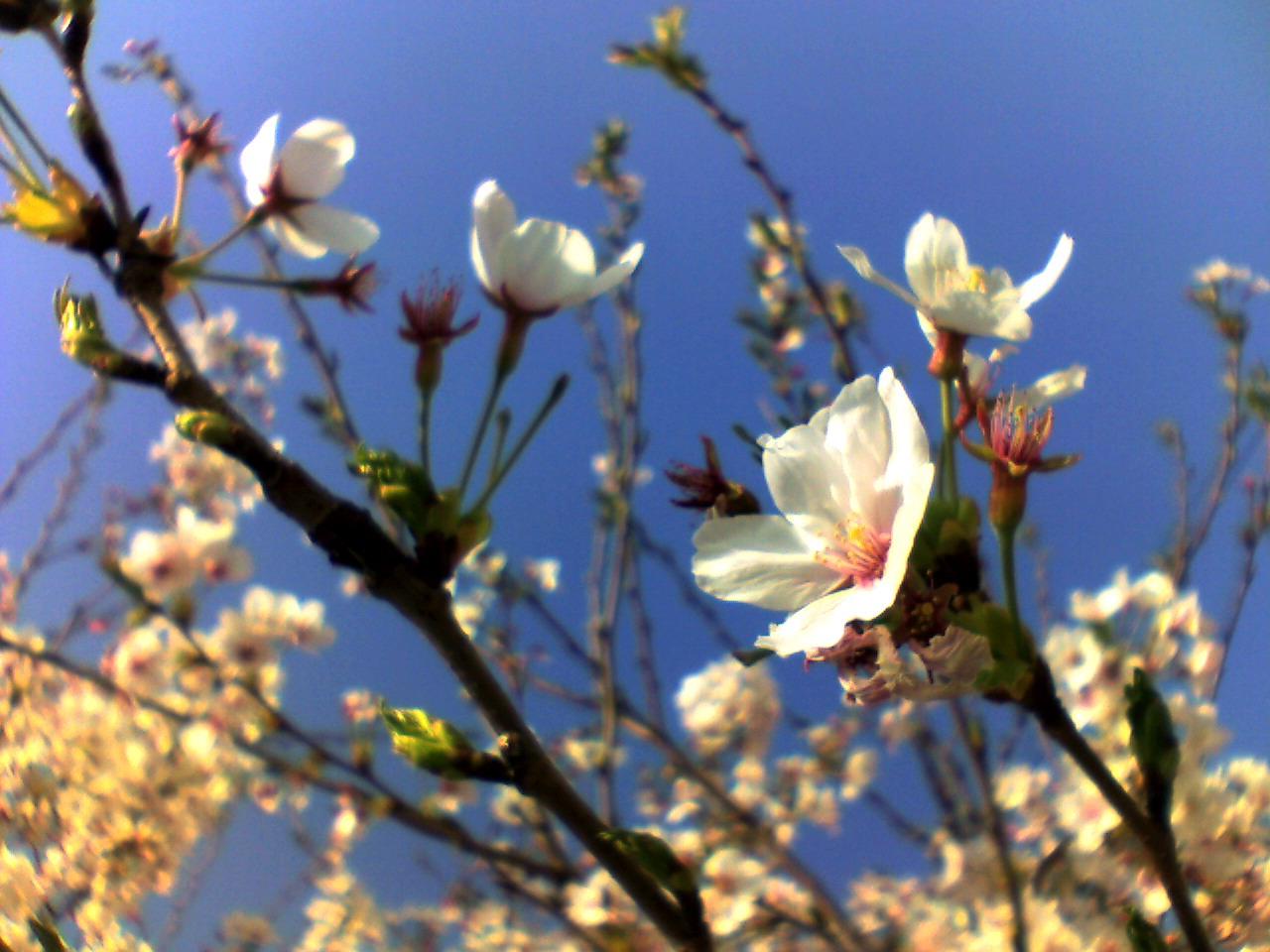 桜満開、春爛漫