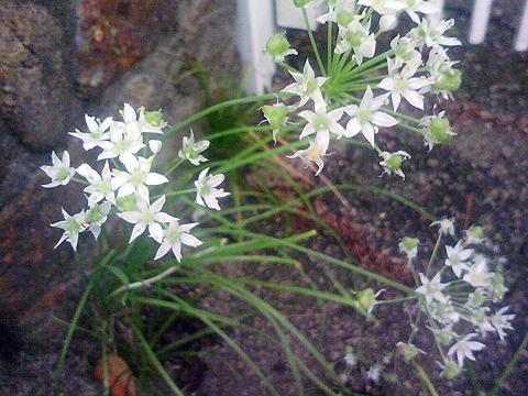 庭の野蒜花