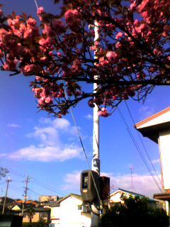 ぼたん桜、満開〜♪