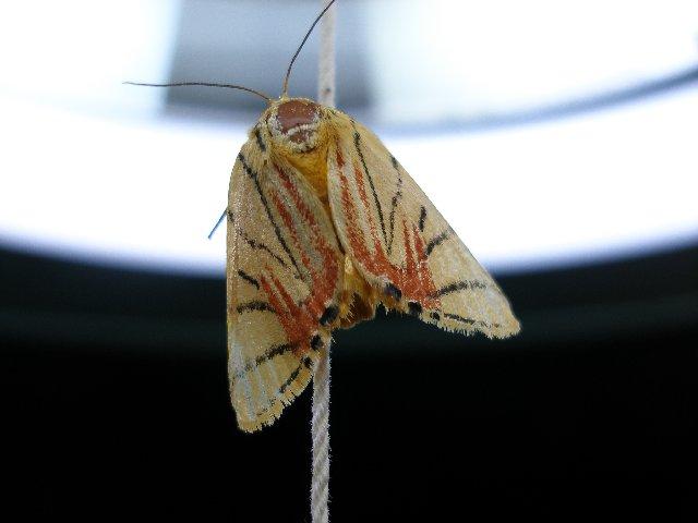 パステル画質な蛾