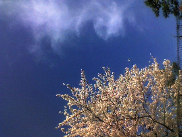 桜、今だ満開