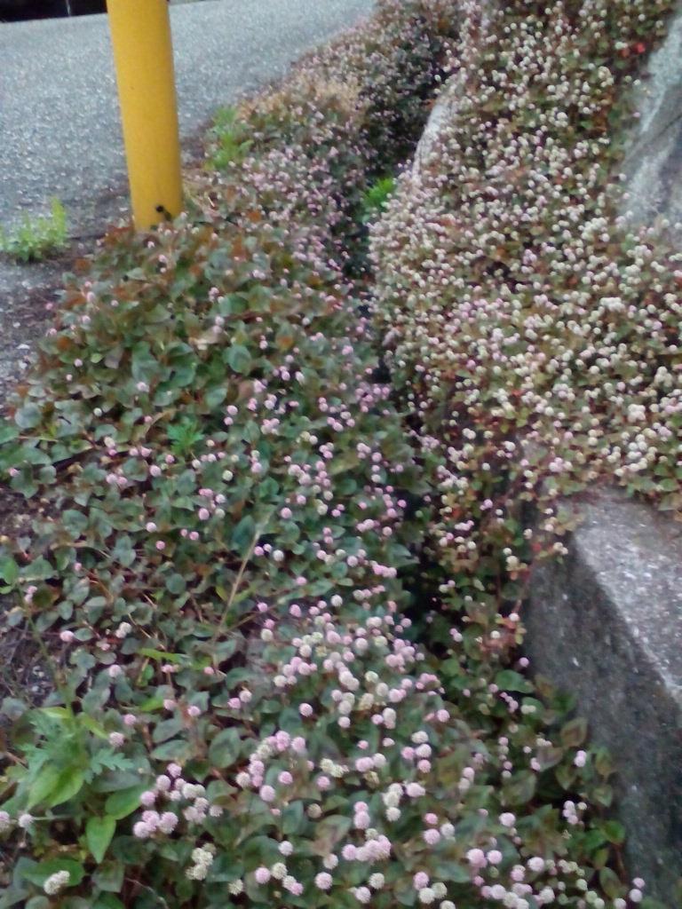 野生化した園芸種のヒメツルソバの群生。外来種の雑草かと思ってた。