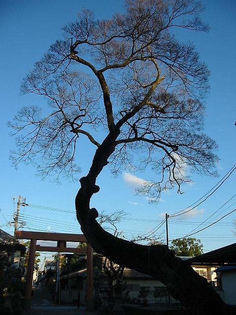 皇大神社の樹