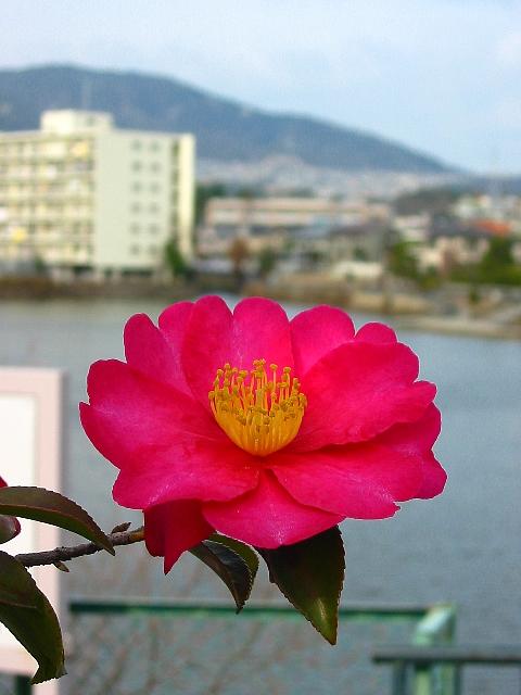 山茶花、咲いた