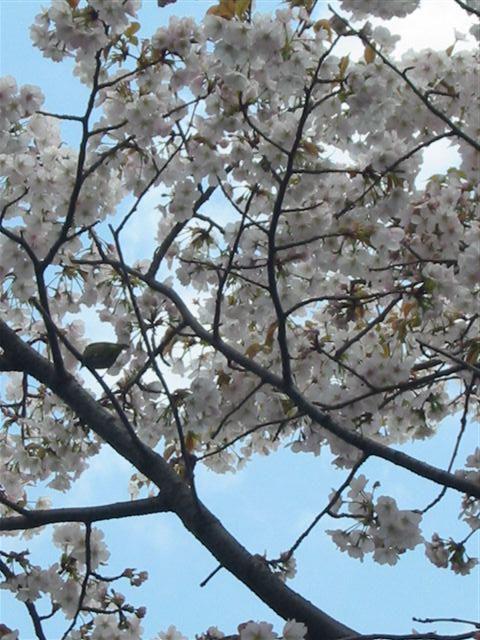 我が家の桜と目白