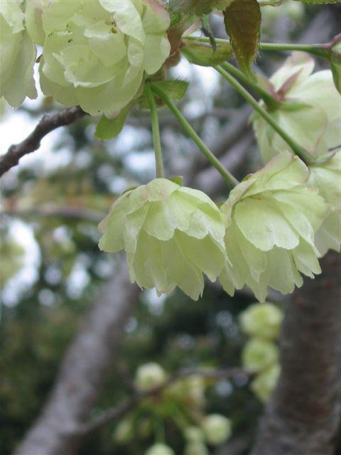 阪急小林/平林寺の緑の桜