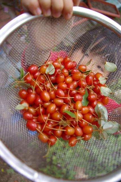 第一次ナツグミの収穫模様